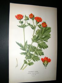Step 1897 Antique Botanical Print. Scarlet Avens